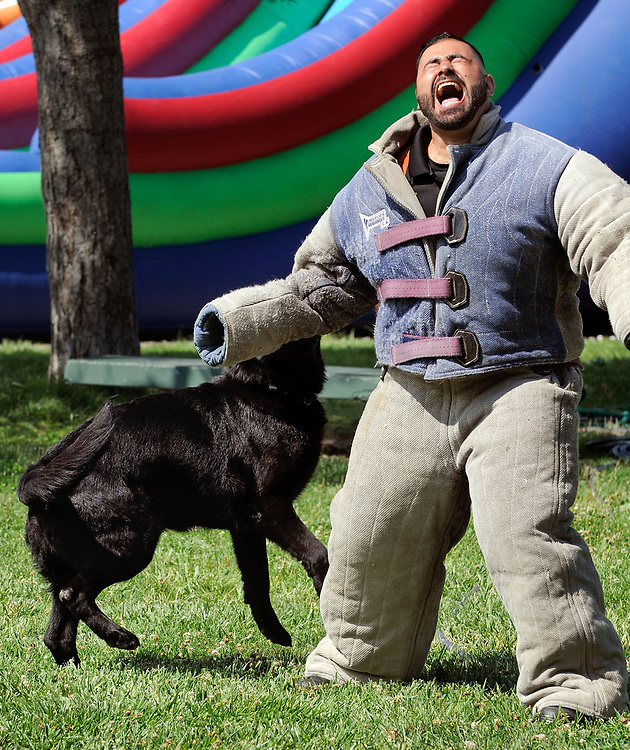jt071417g/ a sec/jim thompson/ Jack, a 7 year-old German Shepard takes a hold of NM Departments of Corrections officer Vincent Caballero at Rotary Park in Bernalillo,NM  as they attend the Cops in the Park celebration. Friday,  July. 14, 2017. (Jim Thompson/Albuquerque Journal)