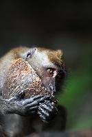 Macaque monkey enjoying a coconut at Ao Nang Beach.
