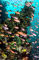 Anthias and Cardinalfish feed in murky water<br /> <br /> Shot in Indonesia
