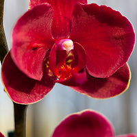 Red moth orchid ( Phalaenopsis)