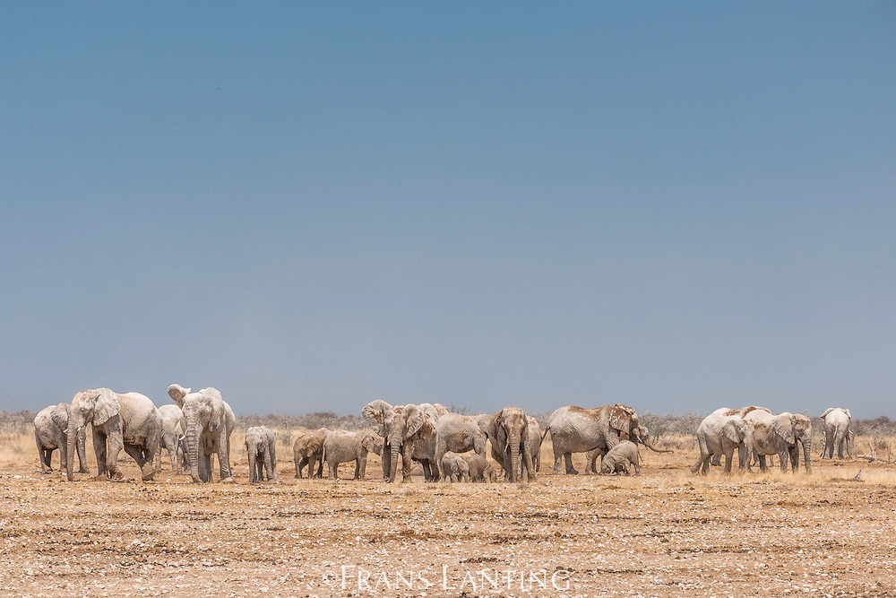 African elephants dustbathing, Loxodonta africana, Etosha National Park, Namibia
