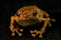 Frog (Albericus sp. nov)<br />Captured in the Foja Mts near Bog Camp.  1650 m.<br />Found by Steve Richards - probable Foja endemic.