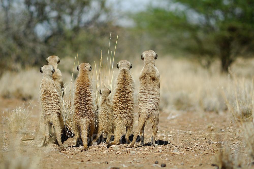 Suricate or Slender-tailed Meerkat (Suricata suricatta)    Erdmännchen (Suricata suricatta) sind hochsoziale, in Familiengruppen organisierte Tiere. Die Warnrufe eines der Wachposten geben der Gruppe differenzierte Informationen über die Art des erspähten Feindes und die Stärke der Bedrohung. Daher reagieren die Nahrung suchenden Erdmännchen nicht immer gleich mit einer Flucht in die unterirdischen Gänge, sondern gegebenenfalls nur mit erhöhter Aufmerksamkeit. Diesen alarmierten Alt- und Jungtieren sträubt sich vor Anspannung das Fell am Rücken.