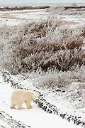 CANADA, Churchill (Hudson Bay).Polar bear (Ursus maritimus) cub in tundra vehicle tracks