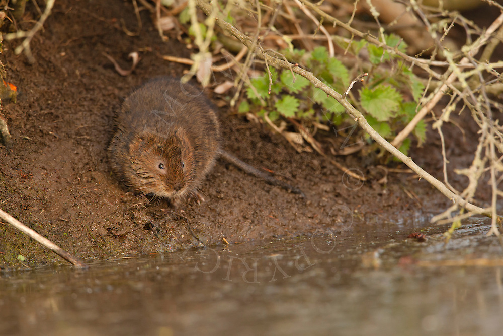 Water Vole (Arvicola terrestris) adult on bank of dyke, Norfolk, UK.