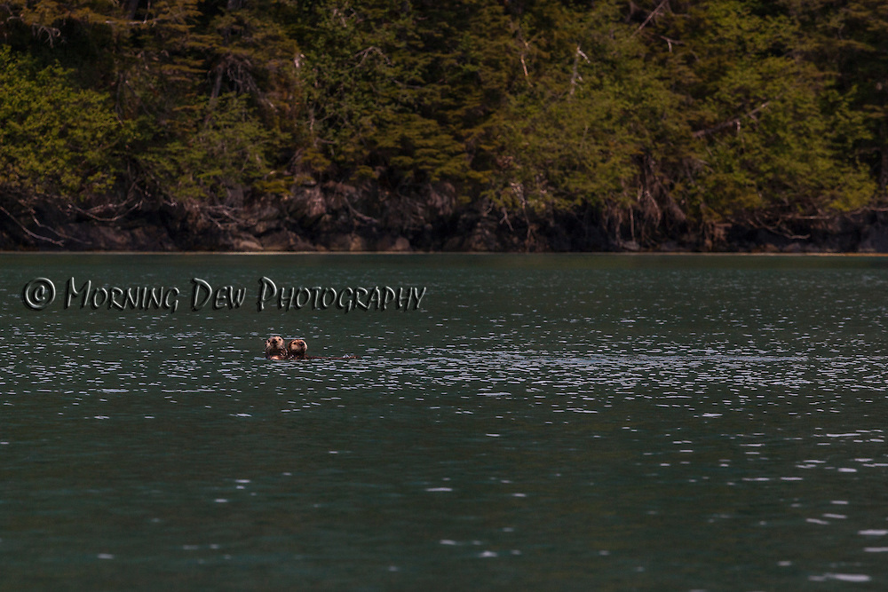 Two playful sea otters look curiously at the boat as we explore Greystone Bay, Prince William Sound, Alaska