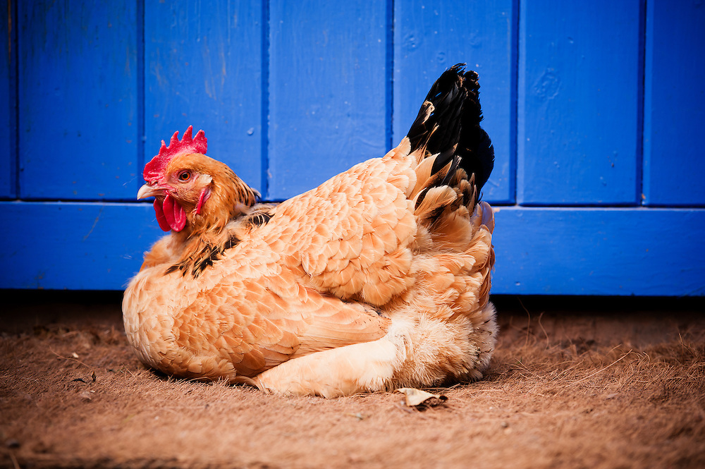 Profile portrait of a chicken sat in front of a blue door by Cheshire and North Wales commercial photographer Ioan Said Photography.
