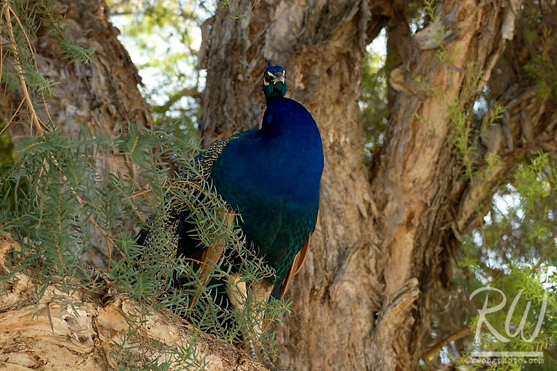 Peacock (Pavo crisatus) sitting in tree at L.A. County Arboretum, California