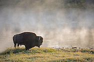 No matter how many times I see Yellowstone's magnificent bison, I'm always in awe of their massive size and strength and their fearless nature. Not only are they impressive to look at, but they possess a great beauty that is often overlooked. Here, a massive bull pauses for a moment in the thick fog rising from the Yellowstone River.