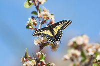 Papilio polyxenes coloro (Desert Swallowtail) ♂ at Plum Canyon, San Diego Co, CA, USA, on Desert apricot 29-Mar-14