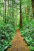 The Kalaloch Nature Trail cuts through a lush, moist coastal forest  along HWY 101.  Olympic National Park, Washington.