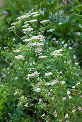 Pimpinella major 'Rosea' with geranium at Glebe Cottage