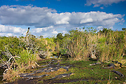 Large group of Alligators in typical Everglades scene, Florida, USA
