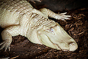 Rare albino American alligator (Alligator mississipiensis) relaxes on land in Myrtle Beach, SC.