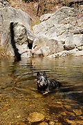 A Blue Heeler swims in Lemmon Pools along the Arizona Trail, Wilderness of Rocks Trail, Sonoran Desert, Coronado National Forest, Santa Catalina Mountains, Mout Lemmon, Arizona, USA.