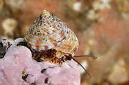 Painted Top Shell - Calliostoma zizyphinum