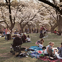 http://Duncan.co/people-relaxing-under-cherry-blossoms