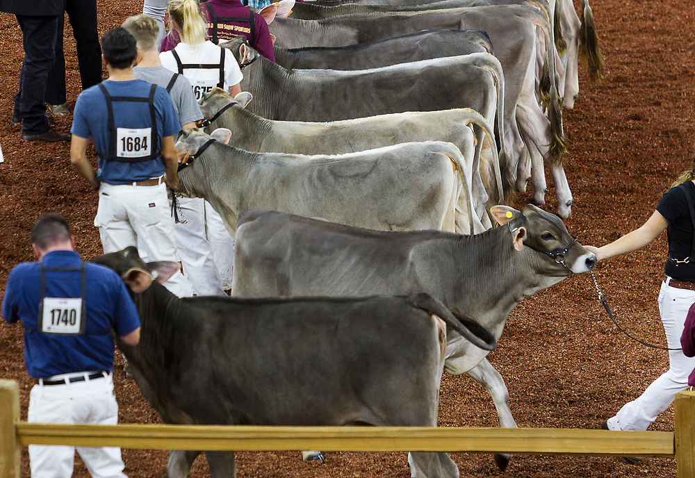 International Brown Swiss cows are shown during the World Dairy Expo at the Alliant Energy Center in Madison, Wisconsin, U.S., October 3, 2018.  REUTERS/Ben Brewer