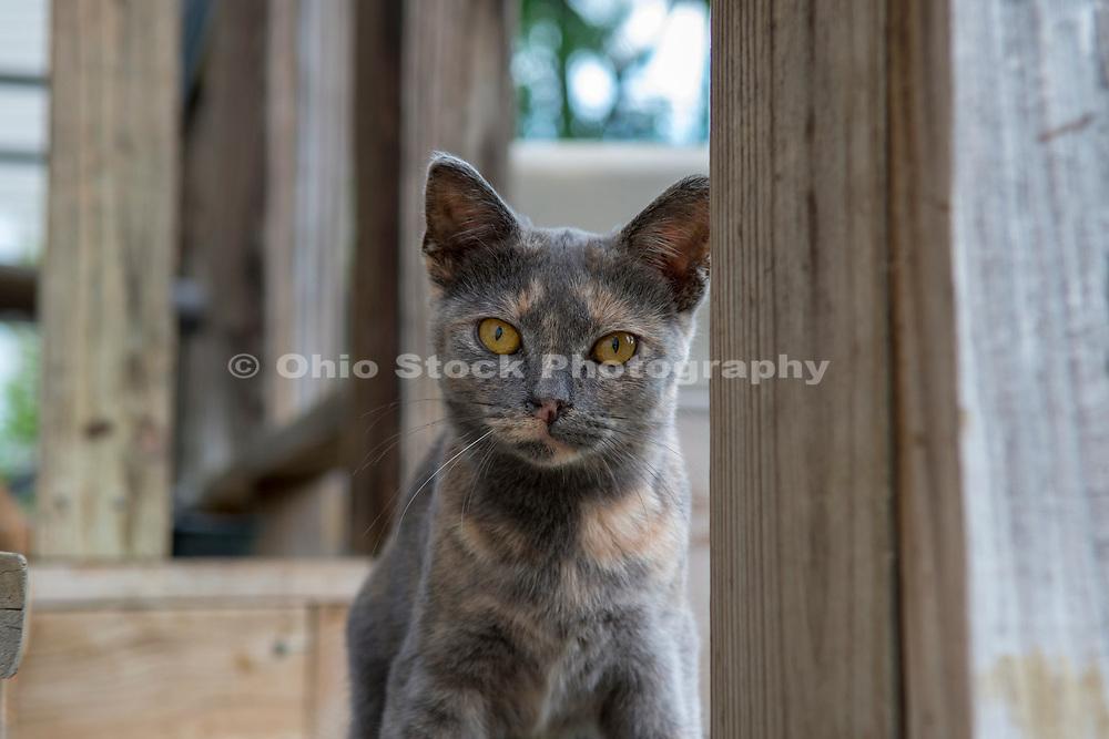 Domestic Shorthair tortoiseshell cat. Columbus, Ohio, USA. July 2014