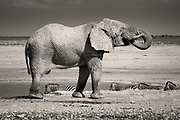 I&rsquo;ve seen elephants in zoos of course, restricted, moving around in circles, stared at by the thousands of noisy visitors - such a desperate form of existence. In the 22,270 km&sup2; Etosha National Park in NW Namibia however, I was for the first time able to see these truly magnificent creatures in their natural habitat. Watching David Attenborough programs on TV is always a delight, but nothing prepares you for the sheer awe of seeing these animals in real life in their own world.<br />