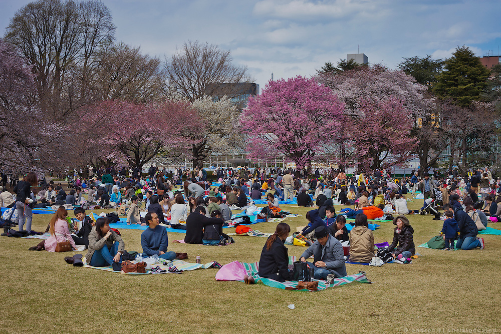 Shinjukugyoen park's is one of the most popular locations to enjoy cherry blossoms in Tokyo.