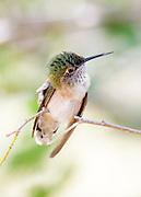 Broad Tailed Hummingbird (Selasphorus platycercus)  perching on small branch in Lyons, Colorado