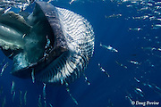 Bryde's whale, Balaenoptera brydei or Balaenoptera edeni, charges through a bait ball of sardines, taking a few into its open mouth, off Baja California, Mexico ( Eastern Pacific Ocean ); whale has rolled sideways with upper jaw at left with part of baleen fringe visible, and throat pleats expanding on the right side