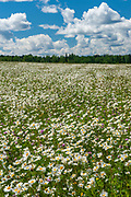 Field of common or oxeye daisy (Leucanthemum vulgare or Chrysanthemum leucanthemum) flowers<br /><br /><br />Canada