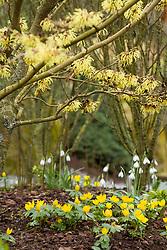 Eranthis hyemalis AGM growing with snowdrops under witch hazel - Hamamelis × intermedia 'Arnold Promise'