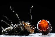 """Flesh fly, Sarcophagidae, fresh hatched fly lies on back near empty barrel-shaped pupa. Flesh-flies are Cyclorrhapha. Past around 10 days pupal rest, the flies open the top of the pupae by expandable forehead pouch, which works like a hydraulic lever. After the hatch the expandable forehead pouch forming back. The pupae length is 10-16 mm. From egg deposition, via larval stage through to hatch the development time is 2-3 weeks. The development period depends on ambient temperature. Worldwide distribution. This picture is part of the series """"Escape into life""""..Fleischfliege, Sarcophagidae, liegt frisch geschlüpft auf dem Rücken neben ihrer leeren Tönnchenpuppen-Hülle, Fleischfliegen sind Deckelschlüpfer. Nach ca. 10 Tagen Puppenruhe sprengen sie mittels ihrer Stirnblase, die wie ein Hydraulikhebel wirkt, den Deckel der Puppe ab. Die Stirnblase entwickelt sich nach dem Schlupf wieder zurück. Die Puppengröße beträgt 10-16 mm. Von der Eiablage, Über das Larvenstadium, bis hin zum Schlupf beträgt die Entwicklungszeit ca. 2-3 Wochen. Die Entwicklungsdauer hängt von der Umgebungstemperatur ab. Verbreitung weltweit. Diese Bild ist Teil der Serie ,,Ausbruch ins Leben""""."""