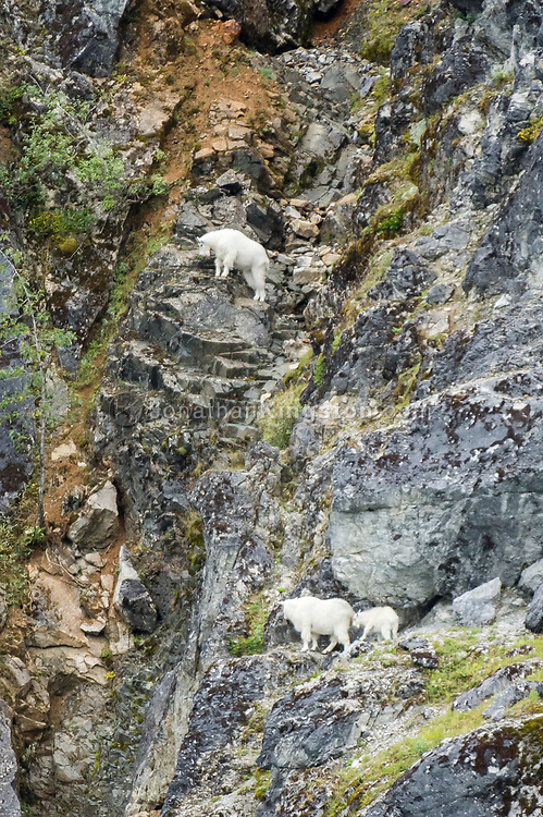 Three mountain goats (Oreamnos americanus) grazing on a cliff face in Glacier Bay National Park, Alaska.