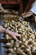 Nederland, Kekerdom, 7-9-2012Bij een landbouwbedrijf wordt de aardappeloogst van kleibrokken ontdaan en opgeslagen in een schuur.Foto: Flip Franssen/Hollandse Hoogte