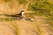 Adult Black Skimmer feeding a fish to chick
