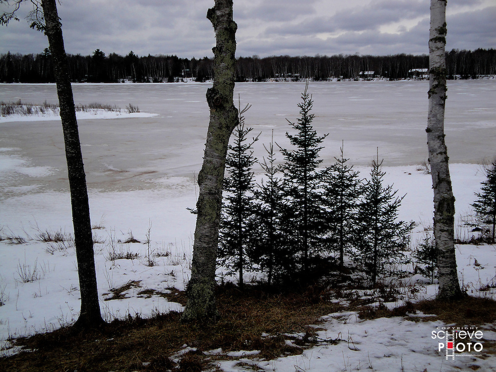 Small pine trees along the shore of Spider Lake in northern Wisconsin.