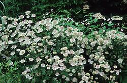 Astrantia 'Buckland' with Gillenia trifoliata