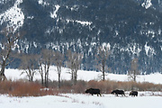 Moose (Alces alces) in Winter, Yellowstone National Park, Wyoming