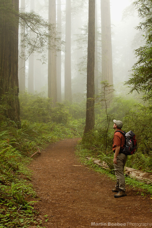 A hiker contemplates ancient redwoods on the Damnation Creek Trail, Del Norte Coast Redwoods State Park, California