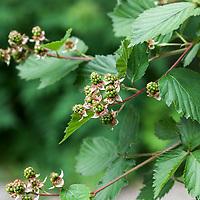 Ripening Black Satin blackberry (Rubus fruticosus 'Black Satin').