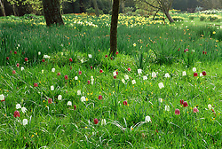 Fritillaria meleagris in the orchard meadow at Great Dixter - Snake's head fritillaries