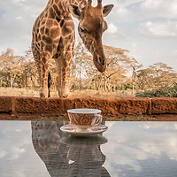 Girafternoon tea