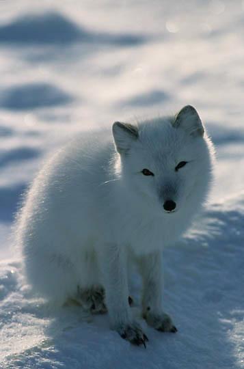 Arctic Fox (Alopex lagopus) Lone fox on frozen tundra. Churchill, Manitoba. Canada. Winter.