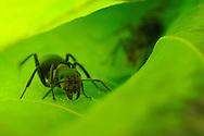 DEU, Deutschland: Rote Waldameise (Formica polyctena), an einem Blatt, Freiburg, Baden-Wuerttemberg | DEU, Germany: European wood ant (Formica polyctena), on a leaf, Freiburg, Baden-Wurttemberg |