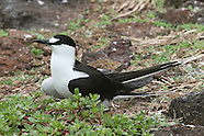 Sooty Tern photos