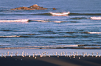 Sea gulls on Kalaloch Beach wit Kalaloch Rocks in the distance.  Olympic National Park, Washington.