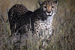 NAMIBIA KAMANJAB 27APR14 - A cheetah prowls though a large enclosure at the Ojitotongwe Cheetah farm near Kamanjab, Namibia.<br /> <br /> <br /> <br /> jre/Photo by Jiri Rezac<br /> <br /> <br /> <br /> © Jiri Rezac 2014