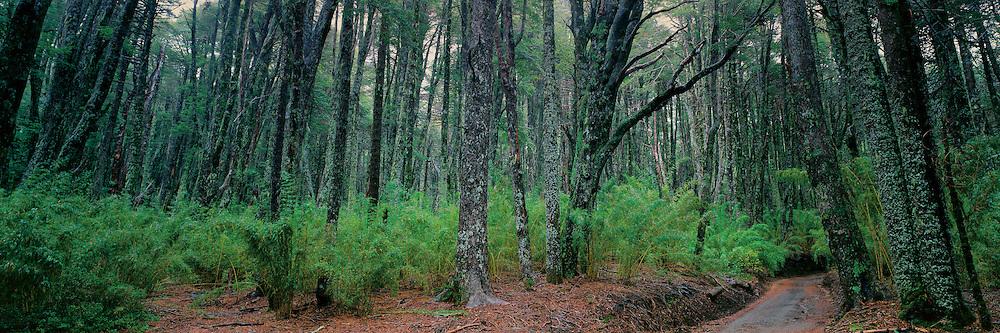 Araucarian Pine Forests and Chilean Bamboo , La Araucania , Chile