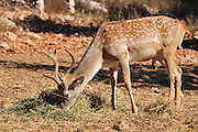 Israel, Carmel Mountains, Male Persian Fallow Deer (Dama dama Mesopotamica) Endangered species. This specimen is part of a breeding nucleus for reintroducing this species back to nature. Photographed in Israel in September