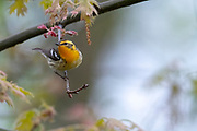 Blackburnian Warbler, Setophagafusca, female, Tuscola County, Michigan
