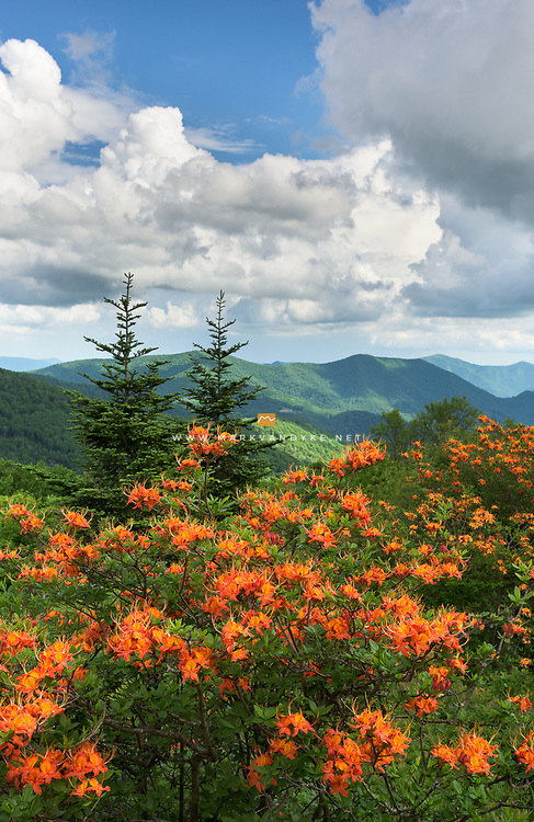 Brilliant orange Flame Azalea bloom alongside the Appalachian Trail in the Roan Highlands of Western North Carolina / Eastern Tennessee.  Carver's Gap, between Round Bald and Jane Bald, is a particularly productive pass for Flame Azalea each spring.