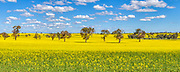 Canola field under blue sky and cumulus clouds near Erin Vale, New South Wales, Australia
